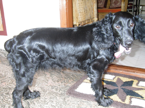 Jeny Cocker Spaniel for sale